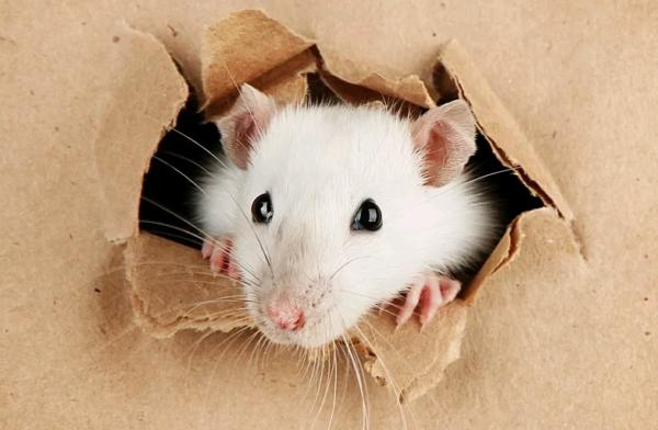 SOS. Крысы на потолке!