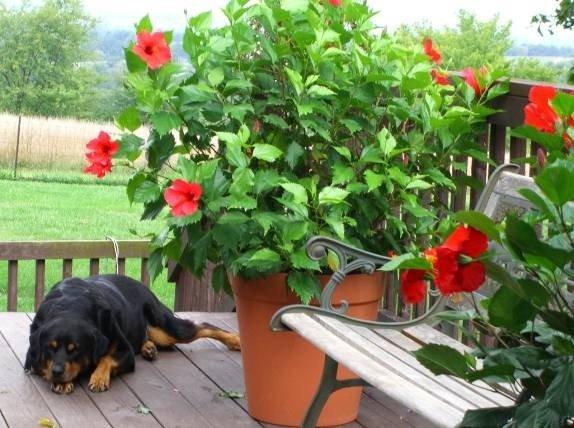 Гибискус в саду