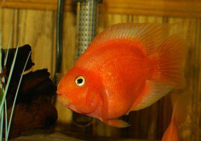 Red_Blood_Parrot_Fish_5 - Размер 76,19К, Загружен: 178